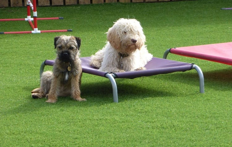 two dogs on artificial grass
